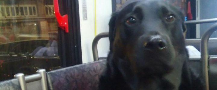 Eclipse, la perra que toma un autobús sola todos los días para ir a jugar al parque