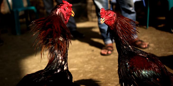 Un gallo de pelea mató a un policía en medio de un operativo