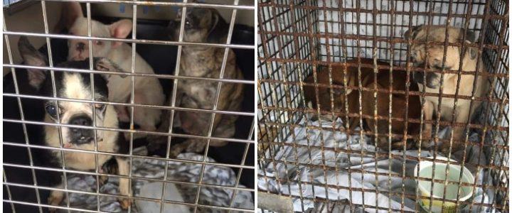 """Rescatan a 69 perritos en Cali que eran usados como """"máquinas de reproducción"""""""